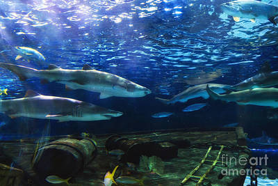 Photograph - Black Tip Sharks by Jill Lang