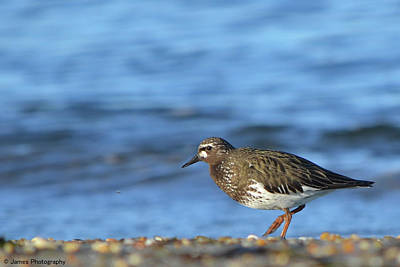Photograph - Black Turnstone by James Petersen