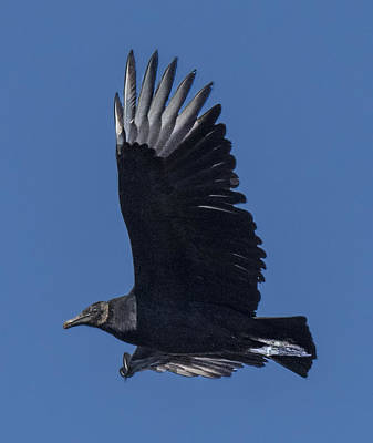 Photograph - Black Vulture Flying Profile by William Bitman