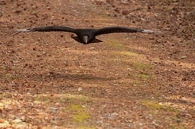 Vulture Digital Art - Black Vulture In Flight by Chris Flees