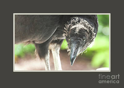 Photograph - Black Vulture by Nancy Greenland