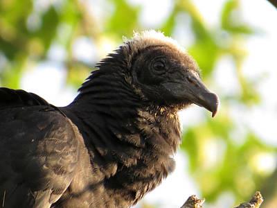 Vintage Uk Posters - Black Vulture by Norman Vedder