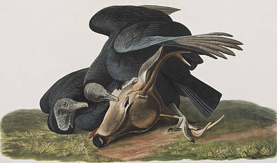 Deer Drawing - Black Vulture Or Carrion Crow by John James Audubon