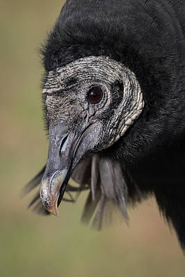 Photograph - Black Vulture Portrait - Winged Ambassadors by Dawn Currie