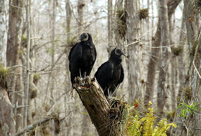 Florida Swamp Photograph - Black Vultures by David Lee Thompson