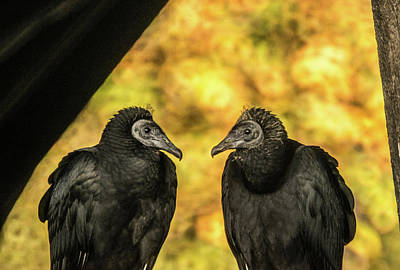 Photograph - Black Vultures Discussing The Mornings Menu by Douglas Barnett
