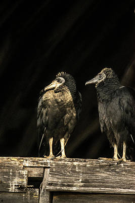 Photograph - Black Vultures On Review by Douglas Barnett