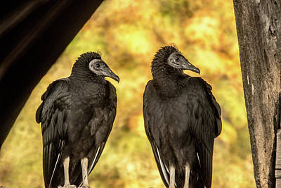Photograph - Black Vultures Watching The Races by Douglas Barnett