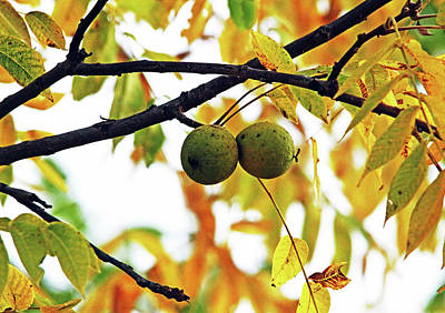 Photograph - Black Walnut Fruit by Debbie Oppermann