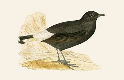 Black Wheatear Art Print by English School
