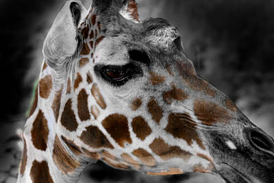Black  White And Color Giraffe Art Print by Anthony Jones