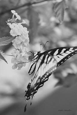 Photograph - Black/white Butterfly by Debra     Vatalaro