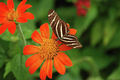 Photograph - Black White Butterfly Perched On An Orange Flower by Diane Bell