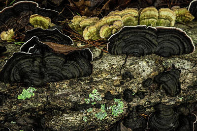 Photograph - Black White Edged Turkey Fungus by Douglas Barnett