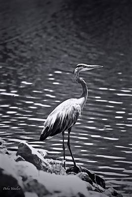 Photograph - Black/white  Heron by Debra     Vatalaro