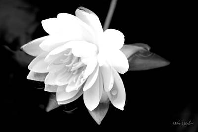 Photograph - Black/white Lotus by Debra     Vatalaro