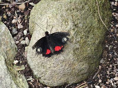 Photograph - Black White Red Tattered Buttefly On Rock by Mozelle Beigel Martin