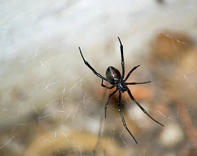 Photograph - Black Widow  by Brent Dolliver