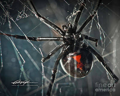Black Widow Spider Photograph - Black Widow by Chris Holloman