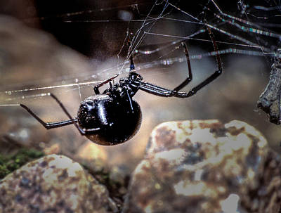 Photograph - Black Widow Spider by John Brink