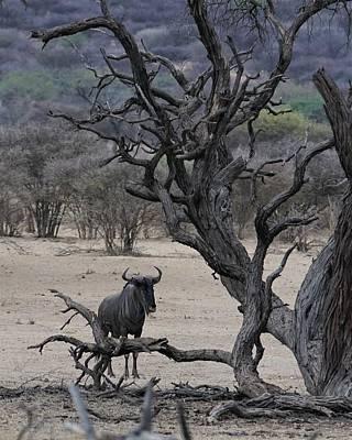 Photograph - Black Wildebeest by Ernie Echols