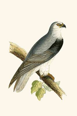 Birds Of Prey Drawing - Black Winged Kite by English School