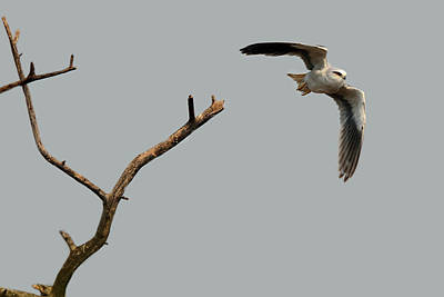 Photograph - Black-winged Kite by Manjot Singh Sachdeva