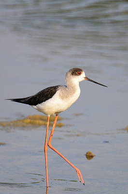 Photograph - Black-winged Stilt by Balram Panikkaserry