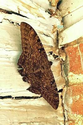 Photograph - Black Witch Moth by Janette Boyd