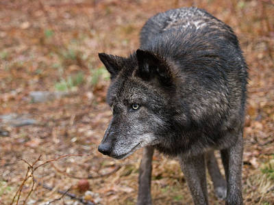 Photograph - Black Wolf by Jim DeLillo