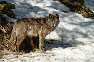 Photograph - Black Wolf Pictures - Bw 1 by Wolves Only