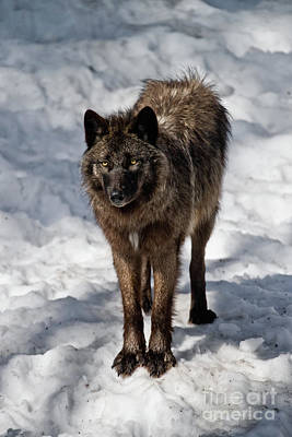 Photograph - Black Wolf Pictures - Bw 2 by Wolves Only