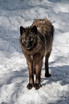 Black Wolf Pictures - Bw 2 Original