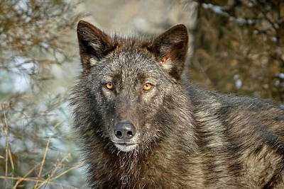 Photograph - Black Wolf Portrait by Jack Bell