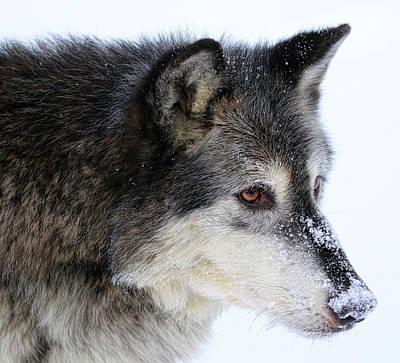 Photograph - Black Wolf by Steve McKinzie