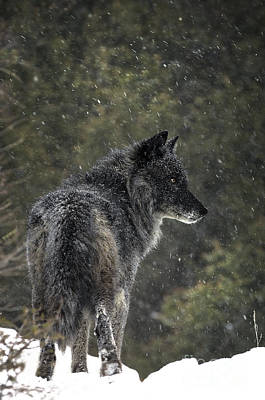 Wild Animals Photograph - Black Wolf by Wildlife Fine Art