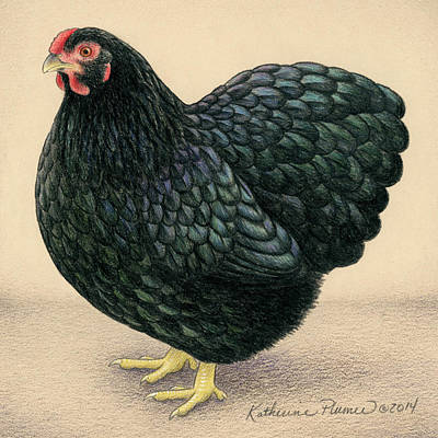 Barnyard Drawing - Black Wyandotte by Katherine Plumer