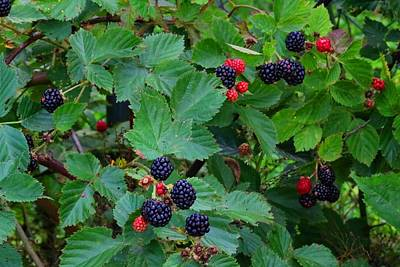 Photograph - Blackberries 1 by Kathryn Meyer