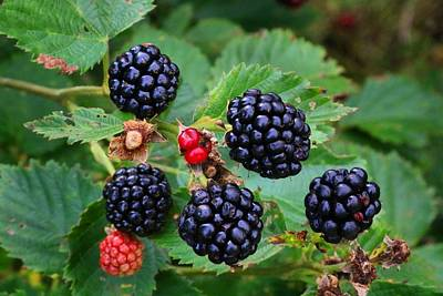 Blackberries 2 Art Print