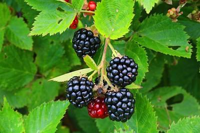 Photograph - Blackberries Closeup by Kathryn Meyer