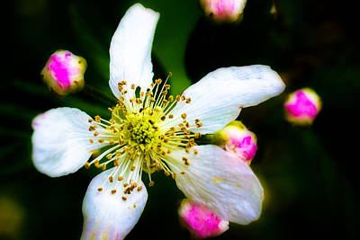 Photograph - Blackberry Blossom - 2 by Barry Jones