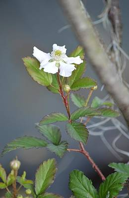 Photograph - Blackberry Flower Portrait by rd Erickson