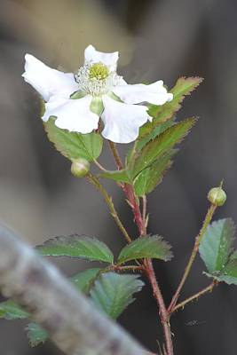Photograph - Blackberry Flower Today by rd Erickson