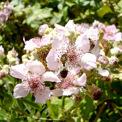 Photograph - Blackberry In Bloom With Bee by Elena Schaelike