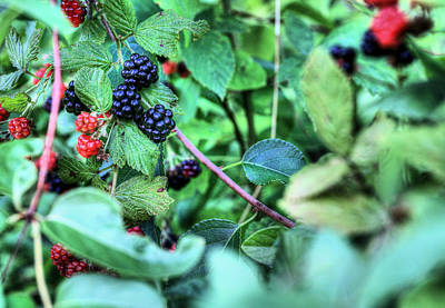 Photograph - Blackberry  by JC Findley