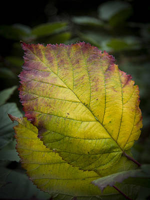 Photograph - Blackberry Leaf Closeup  by Jean Noren
