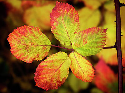 Photograph - Blackberry Leaves - 365-235 by Inge Riis McDonald