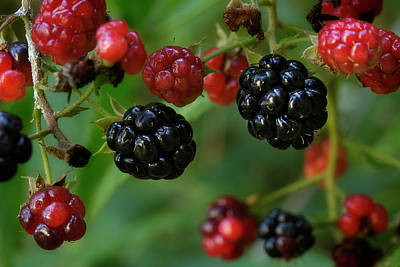 Photograph - Blackberry On The Vine 2 by Mike Eingle