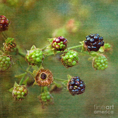 Photograph - Blackberry Time by Liz  Alderdice