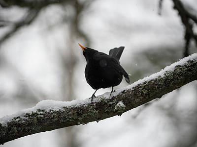 Photograph - Blackbird _ Shake It Off by Ismo Raisanen